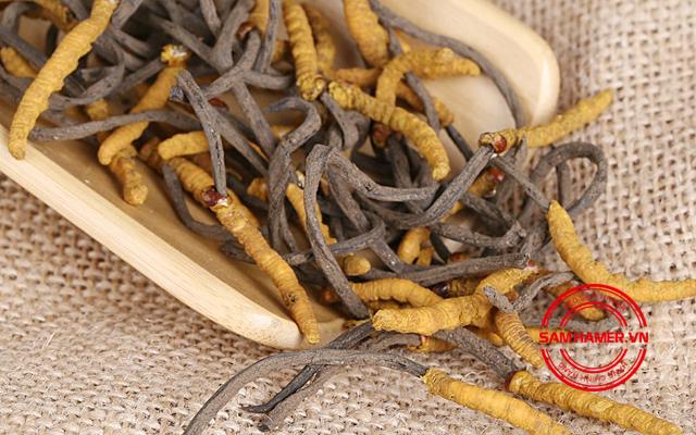 Cordyceps sinensis (đông trùng hạ thảo)
